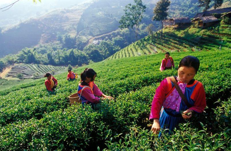 タイの山岳地帯の茶畑
